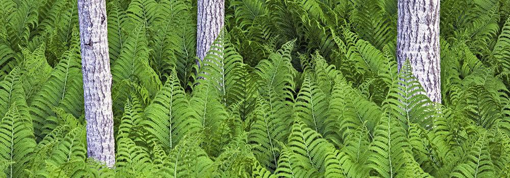Ferns of Michigan